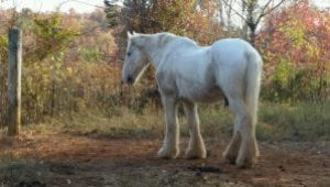 Carriage Horse Jake