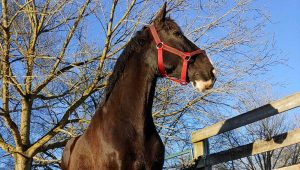Chattanooga Horse Drawn Carriage Rides with King the Horse